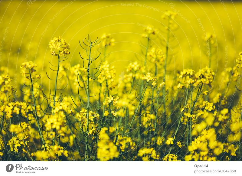 rapeseed body Environment Nature Plant Spring Summer Weather Beautiful weather Bushes Leaf Blossom Foliage plant Agricultural crop Field Blossoming Growth