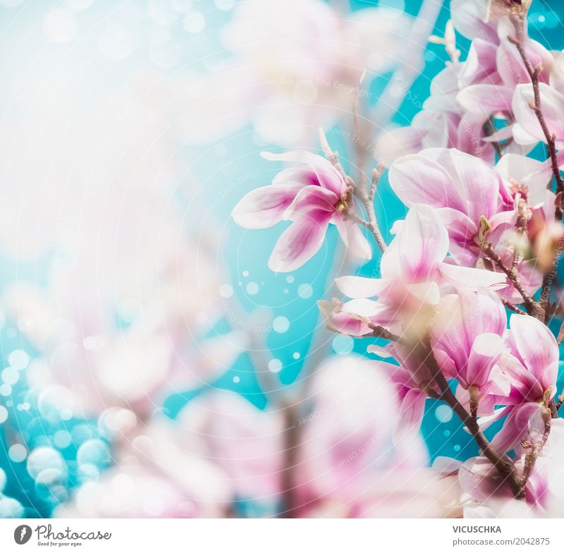 Magnolia Blossoms Design Summer Garden Nature Landscape Plant Spring Leaf Park Blossoming Soft Pink Magnolia plants Blue sky Bud Blur Colour photo Exterior shot