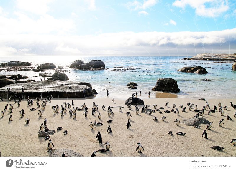 Penguin dancing. Vacation & Travel Tourism Trip Adventure Far-off places Freedom Waves Coast Beach Bay Ocean Wild animal Bird Web-footed birds Group of animals