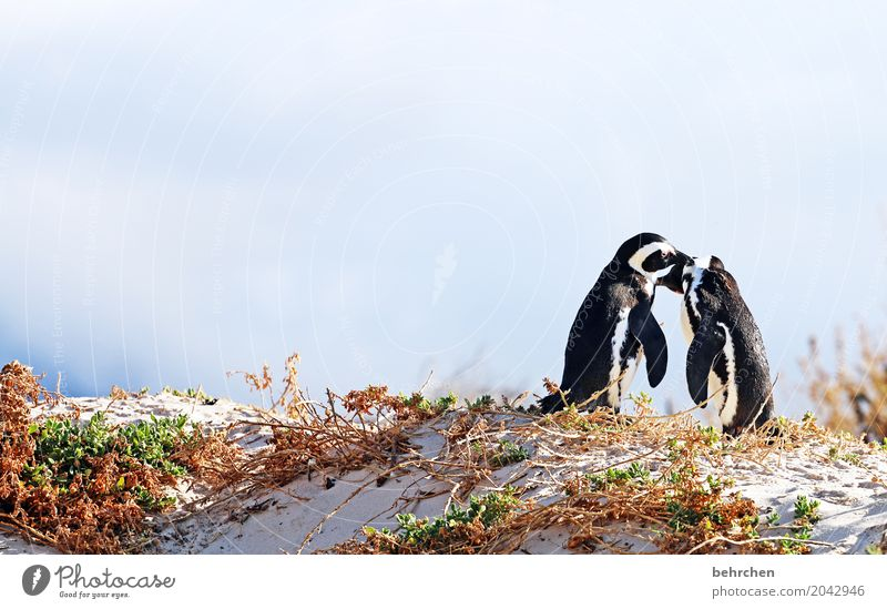 Pair dancing. Vacation & Travel Tourism Trip Adventure Far-off places Freedom Coast Beach Bay Ocean Wild animal Bird Web-footed birds Penguin Pair of animals