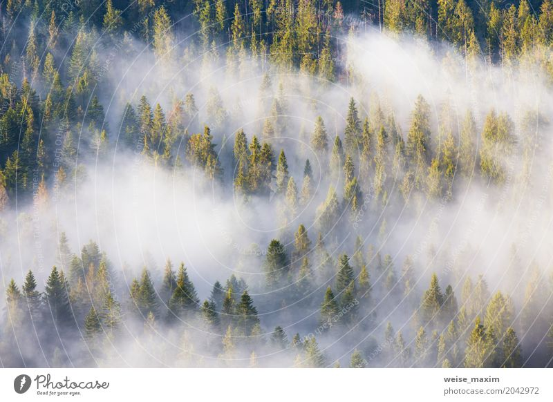 Majesty of nature, misty coniferous forest at sunrise Nature Vacation & Travel Plant Summer Beautiful Green White Tree Landscape Clouds Forest Mountain Natural