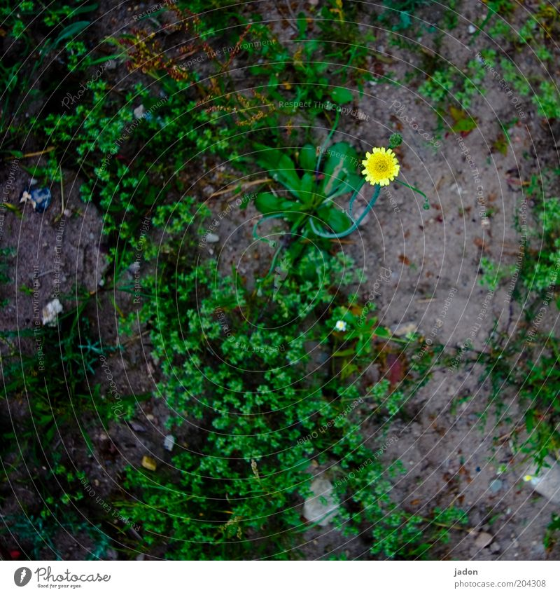 SMALL STAR Plant Earth Wild plant Yellow Thrifty Point Patch of colour Star (Symbol) Detail Bird's-eye view Copy Space bottom Flower Blossom