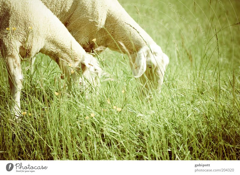 sleeping aid Nature Landscape Beautiful weather Grass Meadow Field Animal Pet Farm animal Sheep 2 Stand Green Contentment Happy Soft To feed Exterior shot