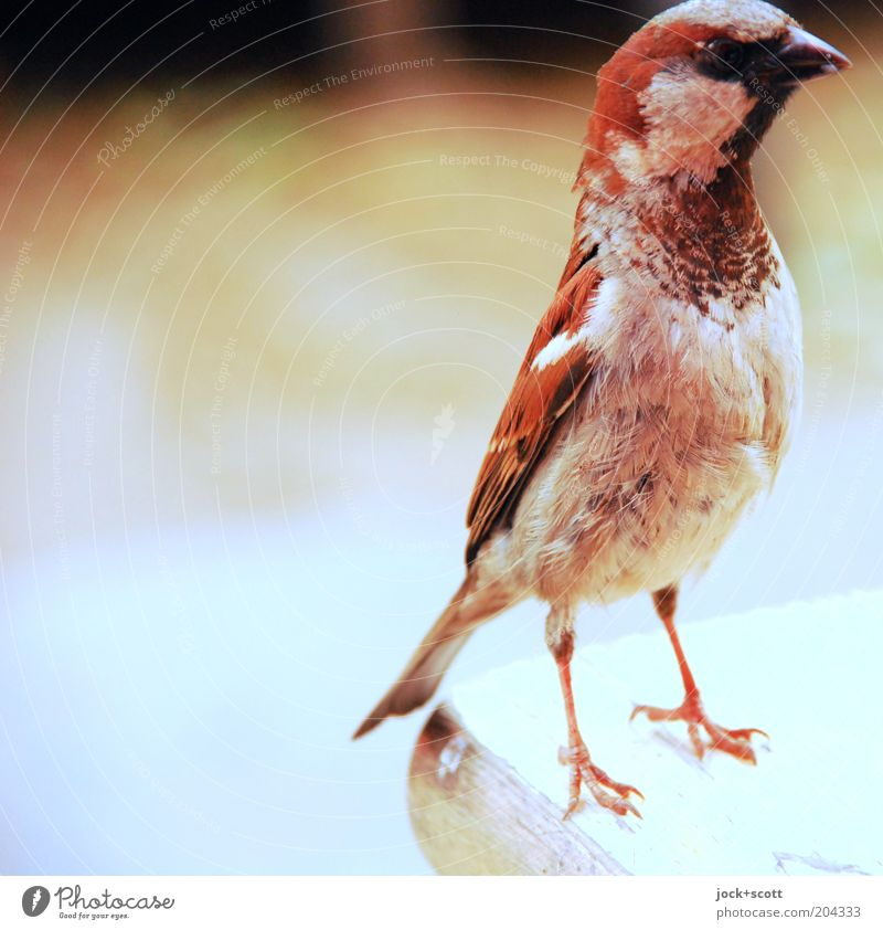 tschirrip Bird 1 Animal Brash Near Brown Acceptance Watchfulness Curiosity Interest Concentrate Plumed Sparrow Claw Small Feather Anxious Table edge