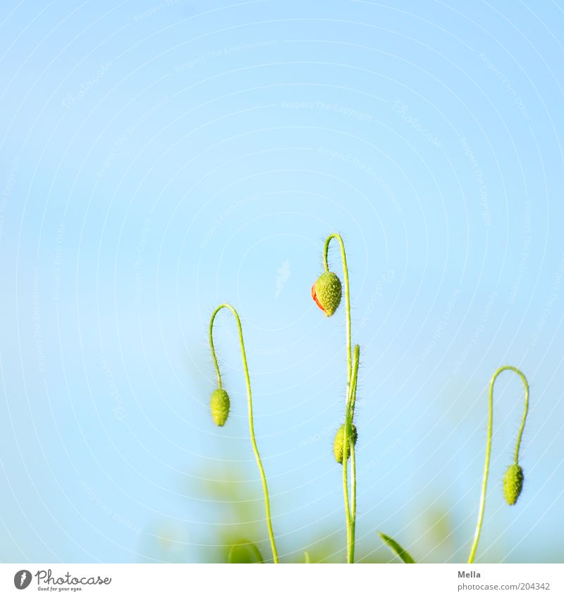 Closed today Environment Nature Plant Cloudless sky Spring Summer Flower Blossom Poppy Bud Growth Natural Blue Green Colour photo Multicoloured Exterior shot