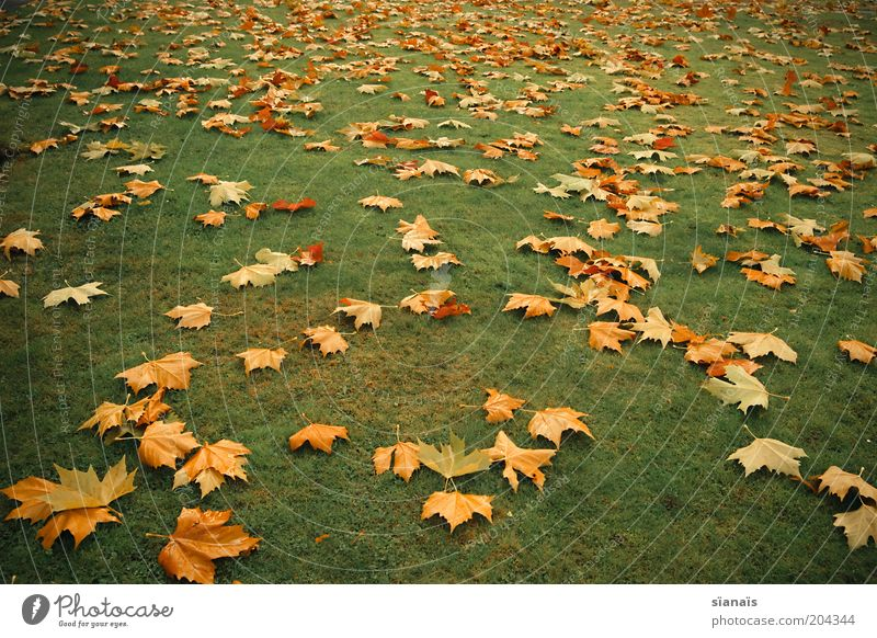 gold leaf Environment Nature Plant Autumn Climate Grass Park Meadow Gloomy Under Yellow Green Transience Leaf Autumn leaves Autumnal Maple tree Climate change