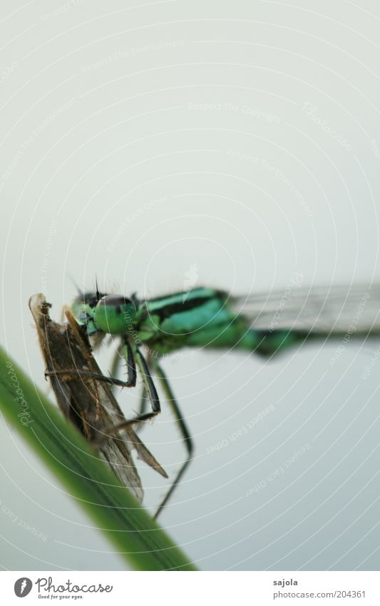 Green Blue Animal Animal face Wing Insect To hold on Wild animal Hunting Appetite Blade of grass To feed Prey Portrait format Small dragonfly