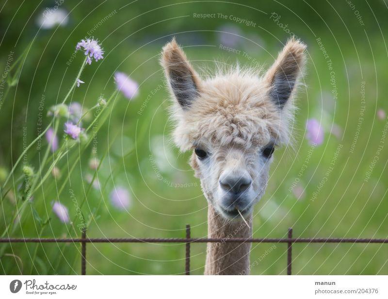 Beautiful Animal Life Meadow Head Hair and hairstyles Wait Cool (slang) Ear Observe Joie de vivre (Vitality) Pelt Curiosity Listening Cute Fence