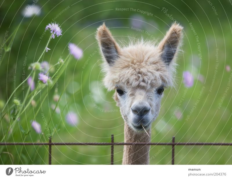 Beautiful Animal Life Meadow Head Hair and hairstyles Wait Cool (slang) Ear Observe Joie de vivre (Vitality) Pelt Curiosity Listening Cute Fence