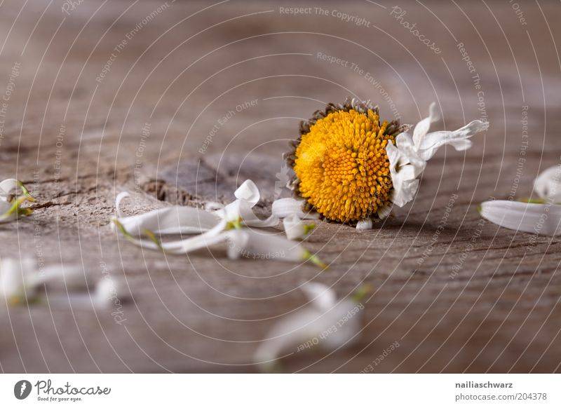 Withered Plant Flower Blossom Daisy Old Broken Brown Yellow White Emotions Sadness End Disappointment Life Grief Colour photo Subdued colour Interior shot