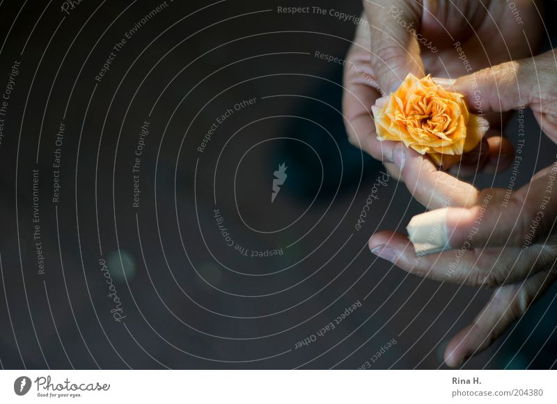 Man Old Hand Plant Adults Yellow Life Emotions Fingers Authentic Hope Rose To hold on Belief Blossom leave Adhesive plaster