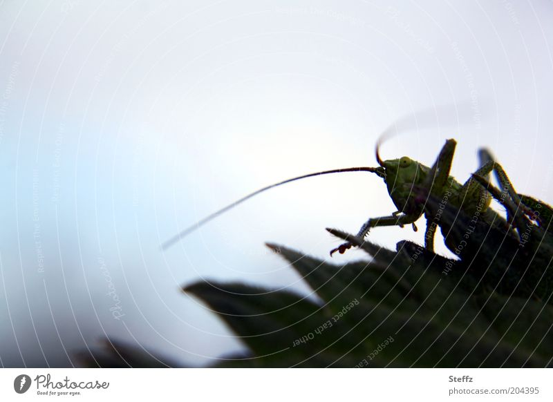 grasshopper Environment Nature Animal Leaf Dryland grasshopper Locust House cricket Feeler Insect Locusts Long-horned grasshopper 1 To feed Looking Voracious