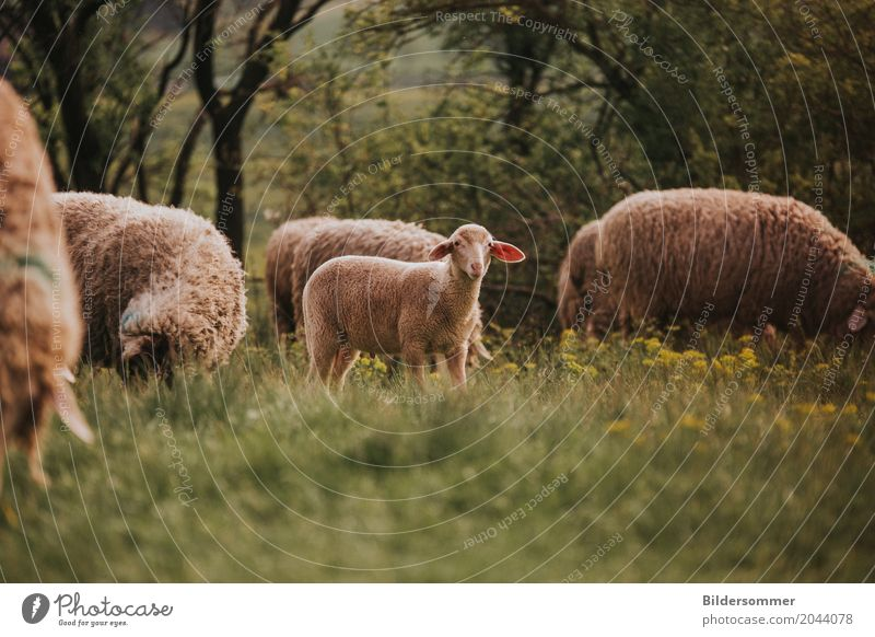 Summer Animal Baby animal Spring Meadow Grass Group of animals Easter Agriculture Sheep To feed Wool Flower meadow Lamb Farm animal Herd