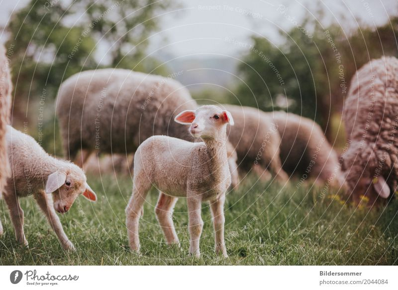 . Nature Grass Meadow Pasture Animal Farm animal Sheep Lamb Agnus Dei Group of animals Herd Baby animal Beginning Pure Country life Agriculture Easter