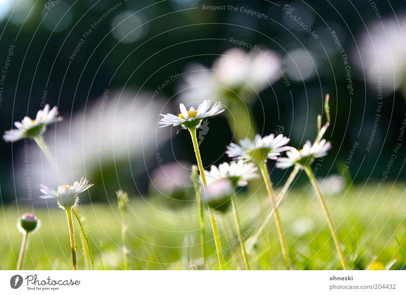 daisy Nature Plant Summer Flower Grass Blossom Daisy Green Colour photo Exterior shot Day Blur Shallow depth of field Close-up Stalk Flower stem