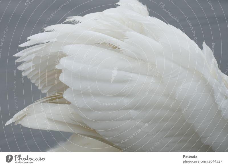 swanlike plumage Wild animal Swan Wing 1 Animal Swimming & Bathing Gray White Esthetic Elegant Ease Pride Feather Lake Brooklyn Spring Exterior shot Close-up