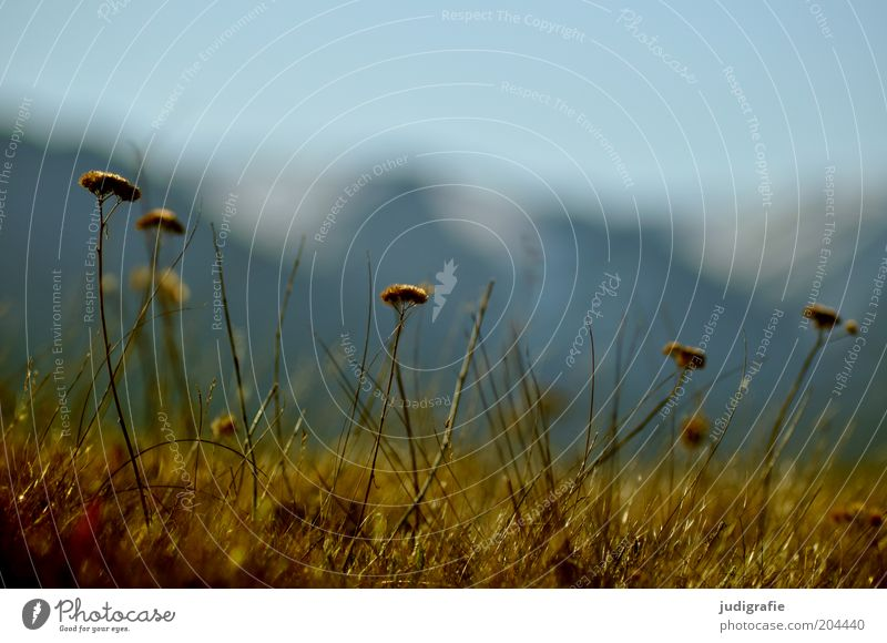 Iceland Environment Nature Plant Sky Spring Flower Grass Wild plant Mountain Faded To dry up Growth Natural Colour photo Exterior shot Close-up Detail Day Blur