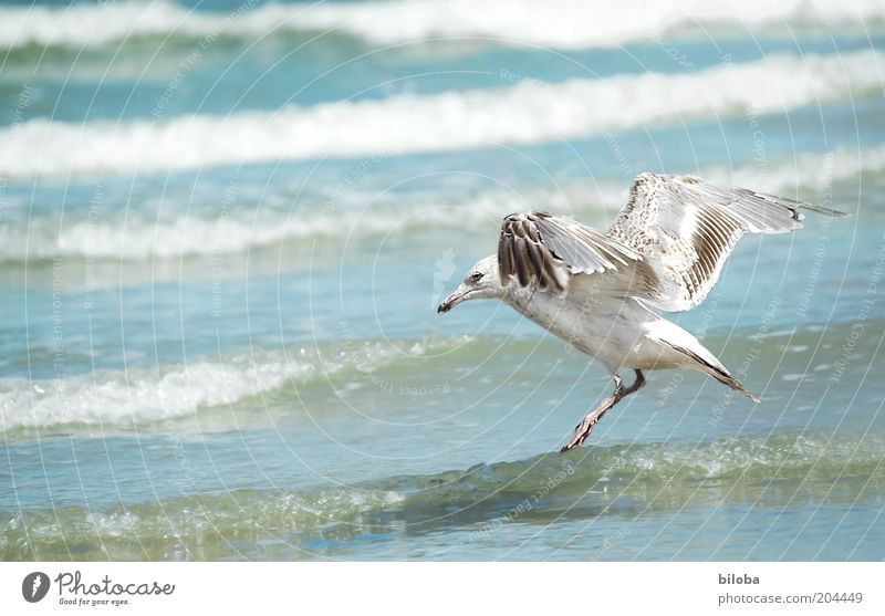 water landing Water Animal Wild animal Bird Wing 1 Flying Blue Brown White Freedom Seagull Waves Nature Copy Space left North Sea Surf Exterior shot Deserted