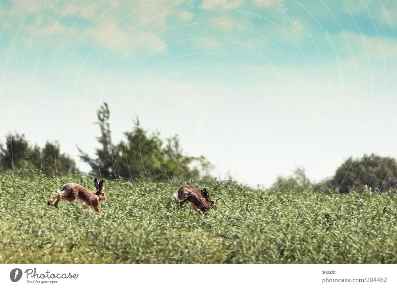 hare hunting Playing Hunting Environment Nature Landscape Plant Animal Sky Clouds Beautiful weather Grass Meadow Field Wild animal Hare & Rabbit & Bunny 2