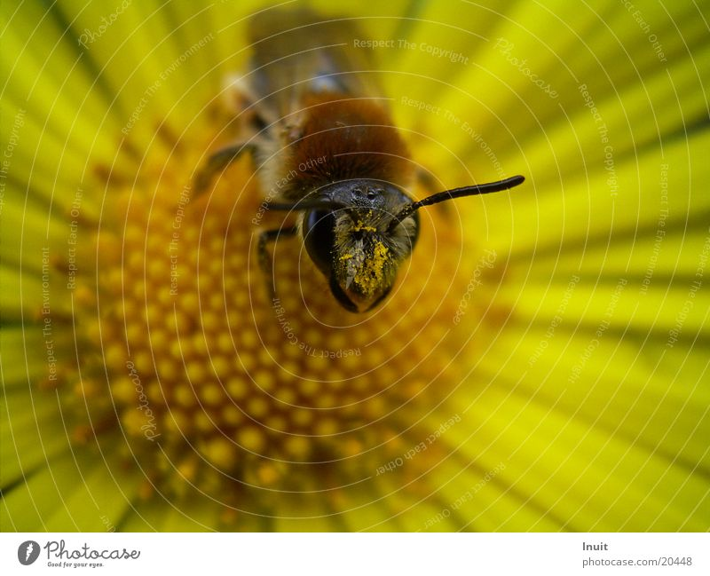 Flower Yellow Blossom Insect Bee Pollen