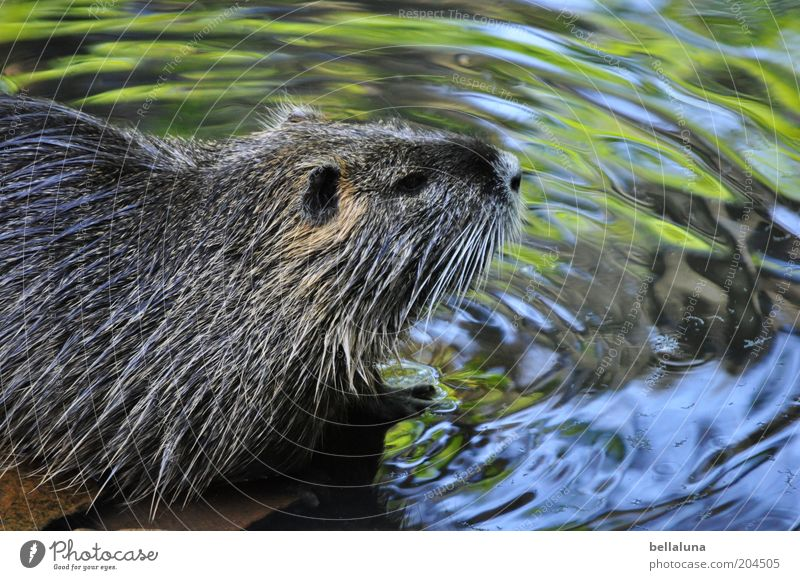 nutria Environment Nature Water Brook River Animal Wild animal Animal face Pelt 1 Swimming & Bathing Nutria Colour photo Subdued colour Close-up Detail Day