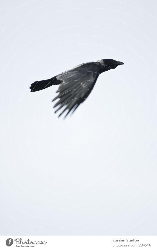 Nature Animal Bird Flying Good Wild animal Direction Upward Positive Go up Floating Raven birds Movement Upswing Rising Course (flight)