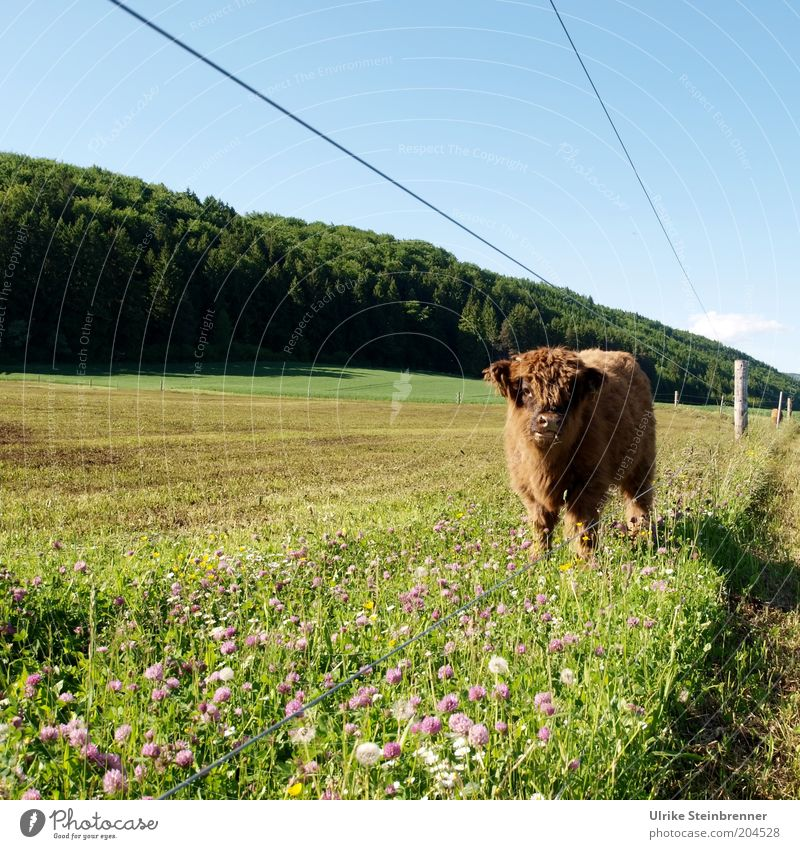 under current Cattle Highland cattle Calf Agriculture Cattle breeding young bull Bull Meadow Pasture Grass Pasture fence Fence Electricity Electrified fence
