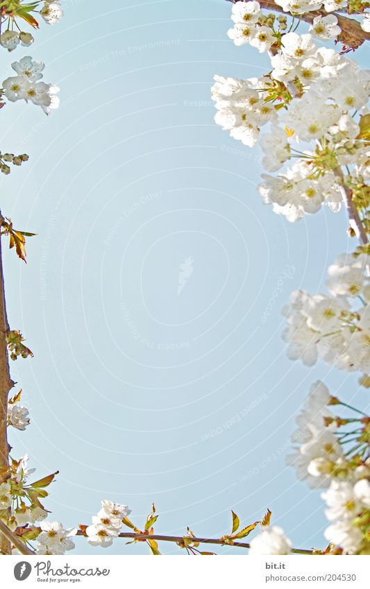 Spring greetings 5 Plant Air Beautiful weather bleed Blue Cherry Cherry tree Cherry blossom spring Blossoming Spring day White Sky Fragrant Delicate already