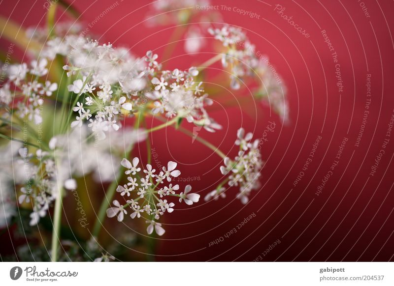 Red-White Nature Plant Grass Bushes Blossom Agricultural crop Wild plant Beautiful Life Fragrance Multicoloured Interior shot Close-up Deserted Day Sunlight