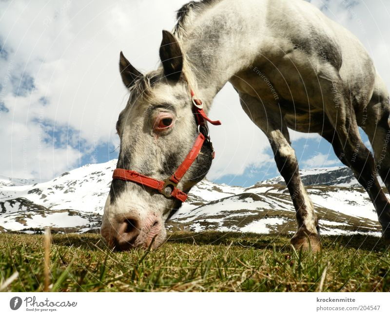 The eye eats with you Nature Landscape Sky Clouds Spring Grass Foliage plant Meadow Hill Alps Mountain Peak Snowcapped peak Animal Horse Animal face 1 To feed