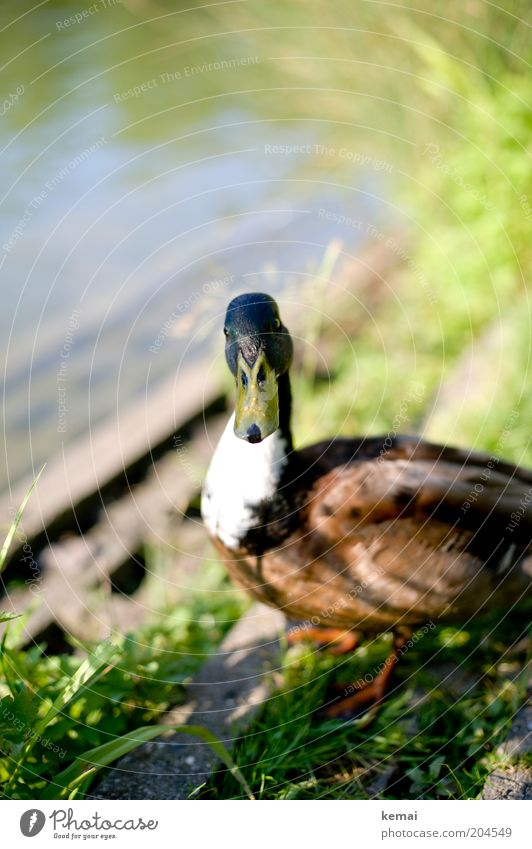 Nature Water Summer Animal Spring Lake Environment Wet Animal face Feather Observe Curiosity Wild animal Cute Pond Duck