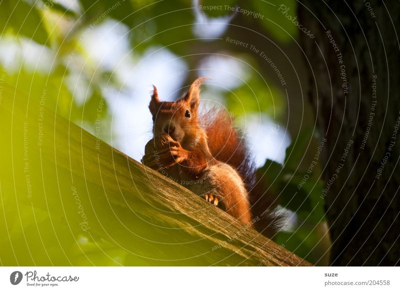 trail mix Environment Nature Plant Animal Tree Pelt Wild animal Squirrel Rodent 1 To feed Sit Small Natural Cute Green Red Walnut Nut Animal face Branch