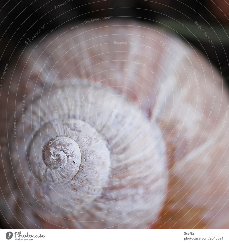 primal form Environment Nature Snail Snail shell Sign Spiral Round Brown White Precision Symmetry Harmonious Structures and shapes Geometry Origin Law of nature