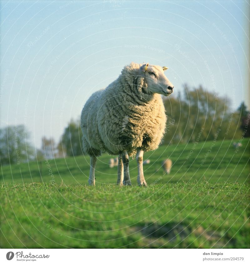 sheep Nature Summer Beautiful weather Grass Meadow Hill Lamb's wool Animal Farm animal Animal face Pelt Sheep Group of animals Herd To feed Flock Landscape
