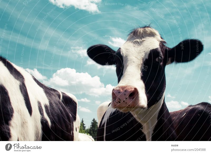 matilda Organic produce Environment Nature Animal Sky Clouds Farm animal Cow Animal face Group of animals Natural Blue Black White Love of animals Country life