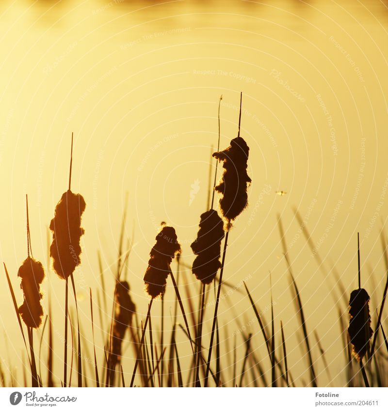 - 250 - Mosquitoes at the lake Environment Nature Landscape Plant Elements Water Summer Beautiful weather Lakeside Hot Bright Warmth Gold Black Common Reed