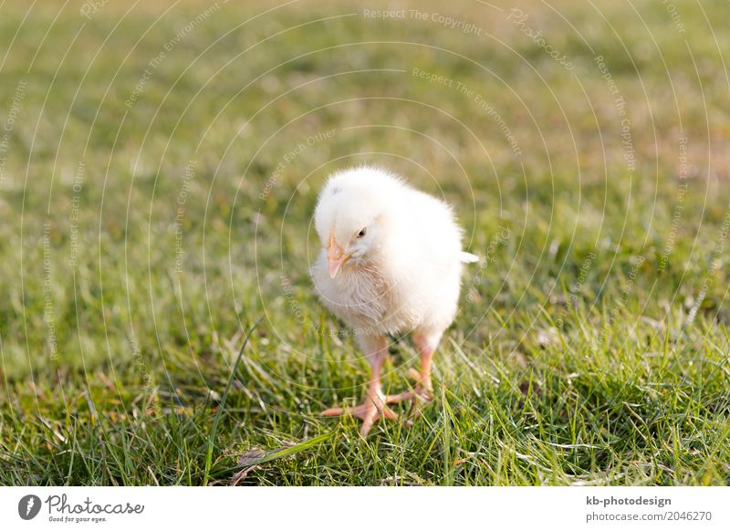 Young chicken on a meadow outdoor Farm animal Barn fowl 1 Animal Baby animal Yellow ducks easter animals farm farm animals farming newborn black animal breeding
