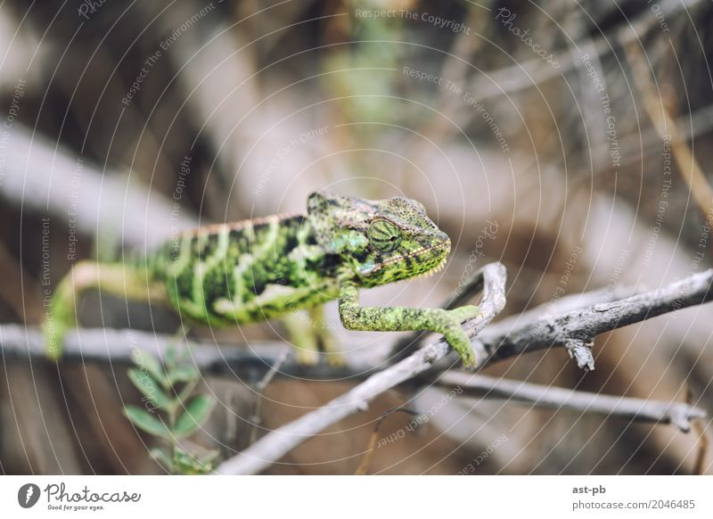 Curious Chameleon Animal Wild animal Green tropical animals Tropical Colour photo Close-up Detail Macro (Extreme close-up) Copy Space top Blur
