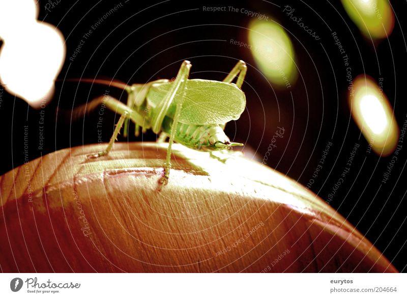 Nature Green Black Animal Wood Dance Environment Wild animal Locust Lighting effect Patch of light Dryland grasshopper