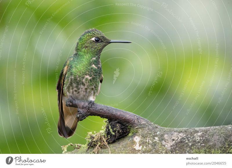 Flying Artist II (Hummingbird, Cloud Forest Ecuador) Adventure Freedom Nature Animal Virgin forest Wild animal Bird Hummingbirds 1 Esthetic Exotic Natural Cute