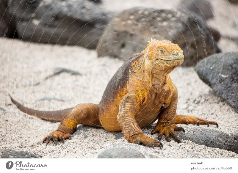 Stay Relaxed II Far-off places Animal Wild animal Saurians landing axis 1 Crawl Esthetic Exceptional Exotic Natural Brown Gold Cool (slang) Love of animals