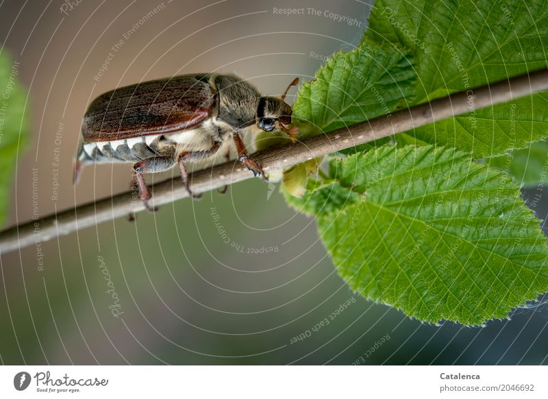 Mr. Sumsemann Nature Plant Animal Spring Beautiful weather Tree Leaf Beech tree Beech leaf beech branch Meadow Field Forest Beetle May bug Insect 1 Movement