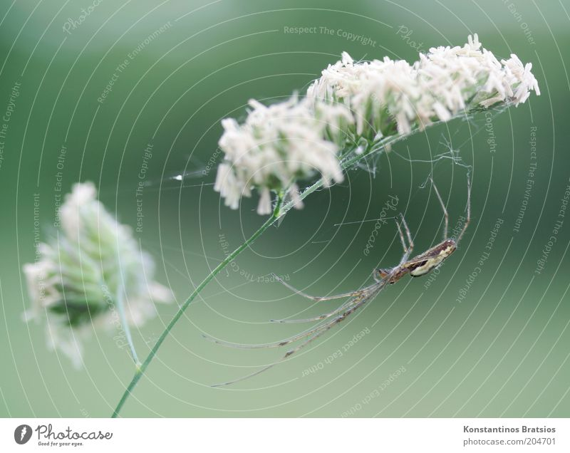 Everything under control Plant Blossom Wild plant Blade of grass Stalk Animal Spider 1 To hold on Wait Thin Elegant Natural Green White Watchfulness Patient