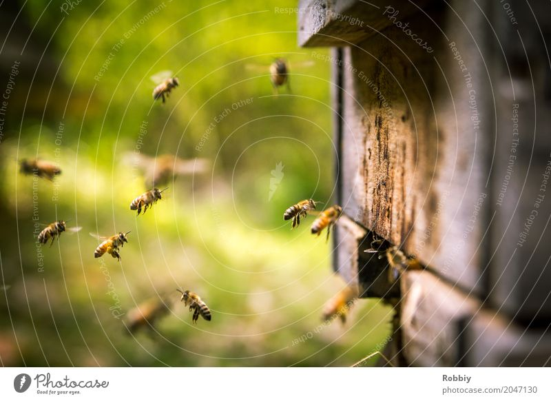 Bees in landing approach Animal Beehive Flock Flying natural Healthy Idyll Sustainability Nature Team Environment Environmental protection Honey bee Diligent