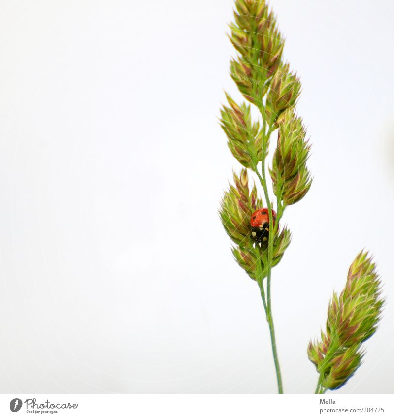 You can't see me! Environment Nature Plant Animal Spring Summer Grass Ear of corn Blossom Wild animal Beetle Ladybird 1 Crouch Sit Small Natural Cute Happy