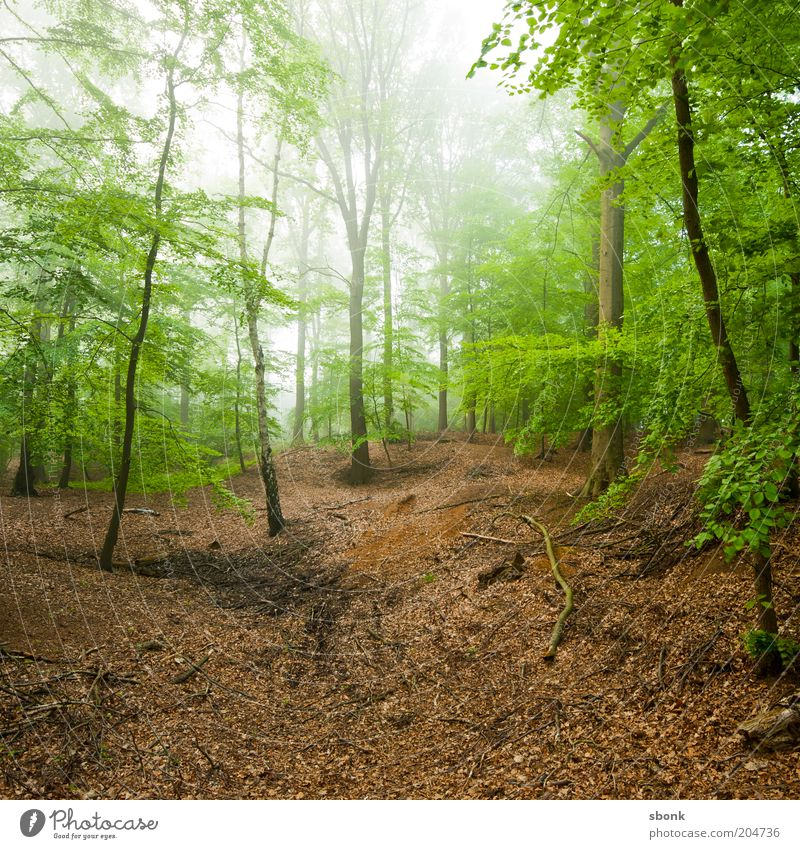 Nature Tree Plant Summer Calm Forest Landscape Fog Environment Climate Hill Virgin forest Deciduous tree Deciduous forest Beech wood
