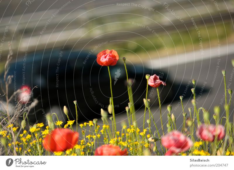 Motorway, Motorway Environment Nature Summer Beautiful weather Plant Flower Grass Foliage plant Wild plant Poppy blossom Transport Traffic infrastructure