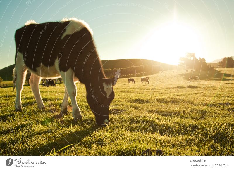 Nature Sky Animal Meadow Landscape Contentment Field Environment Group of animals Transience Exceptional Hill Cow Beautiful weather Back-light Cattle