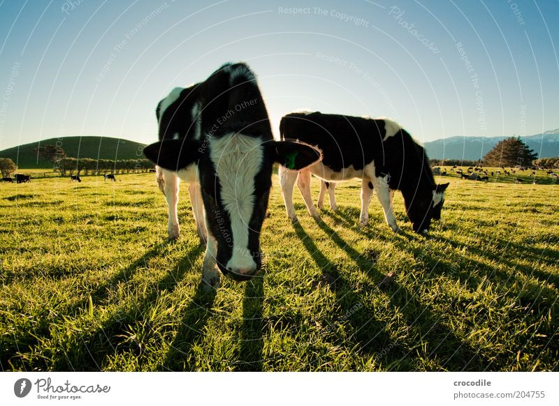 Sky Nature Animal Meadow Nutrition Environment Landscape Contentment Field Group of animals Exceptional Hill Transience Cow Beautiful weather To feed