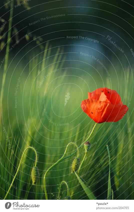 Nature Beautiful Flower Green Plant Red Summer Calm Blossom Warmth Elegant Fresh Esthetic Growth Soft Uniqueness
